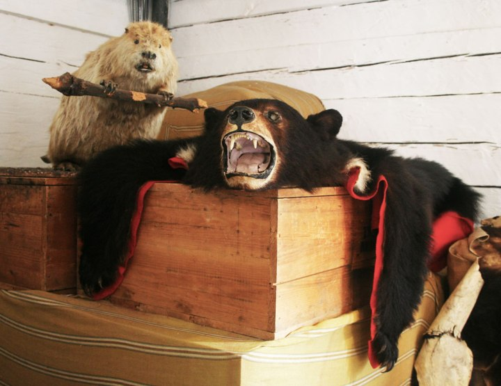 Taxidermy Beaver Bear